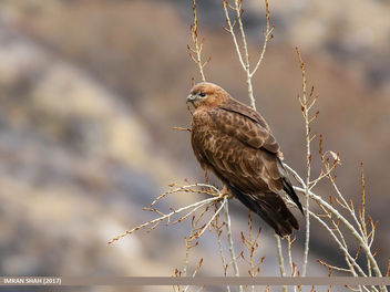 Long-legged Buzzard (Buteo rufinus) - бесплатный image #459105