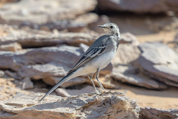 White Wagtail - Kostenloses image #459145