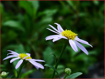 17Feb2019 - white flowers - Free image #459245
