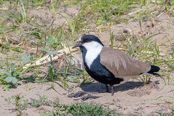 Spur-winged Lapwing - image gratuit #459335