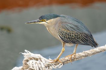 Striated Heron - Free image #459375