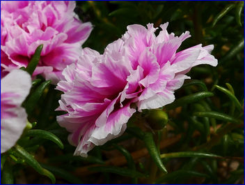 pinky moss roses - Kostenloses image #459425