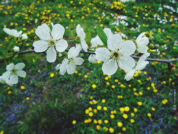 Spring flowering tree branch - image #459635 gratis
