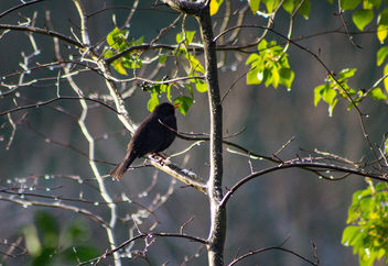 Blackbird sunning himself. - Free image #459705