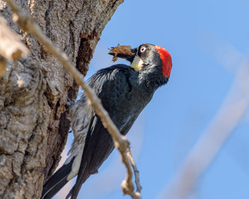 Acorn Woodpecker (f) preparing nest - бесплатный image #459755