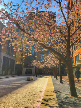 Cherry blossoms, Brinkley, Birmingham - бесплатный image #459995