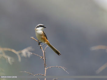 Long-tailed Shrike (Lanius schach) - бесплатный image #460105