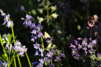 DSC_6814 bluebells flowers - nature close up photography - Free image #460445