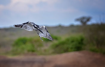 Pied Kingfisher - Free image #460455