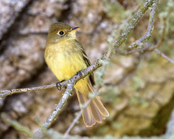 Pacific-slope Flycatcher - image #460825 gratis