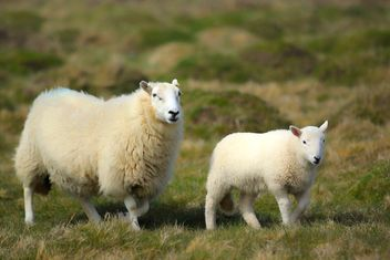 Sheep, Pembrokeshires Coast National Park, Pembrokeshires, Wales - бесплатный image #460965