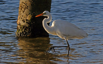Eastern Great Egret. - Free image #461295