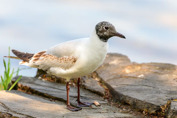 Black-headed Gull - image #461495 gratis