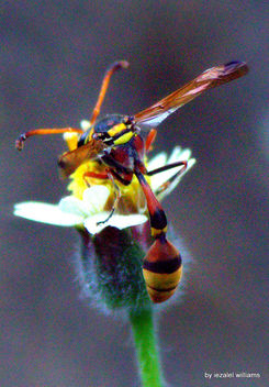 Wasp close-up by iezalel williams - Canon EOS 700D - IMG_9889-005 - Kostenloses image #461515