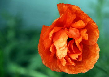 The blooming East Poppy- - Kostenloses image #461565