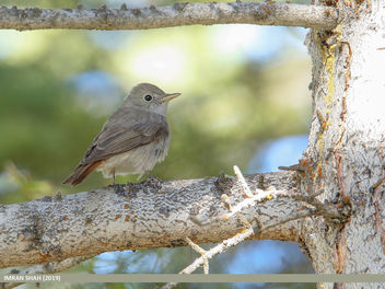 Rusty-tailed Flycatcher (Muscicapa ruficauda) - Free image #461705