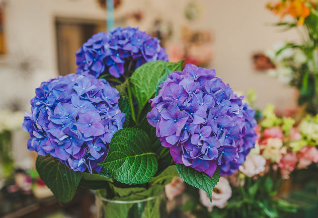 Purple Hydrangea Flowers Close Up - image gratuit #461855