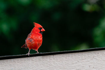Male Cardinal on Our Shed - image gratuit #461945