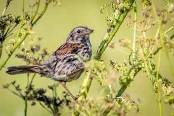 Song Sparrow enjoying an aphid feast - image #462035 gratis