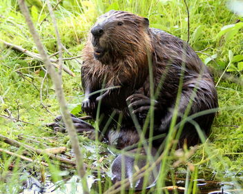 The funny beaver in the wilderness. - image #462355 gratis