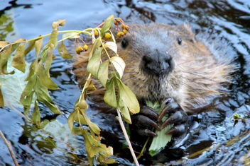 The hungry beaver in wilderness. - image #462575 gratis