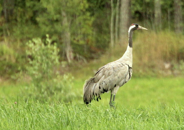 The gallant crane - image #463115 gratis