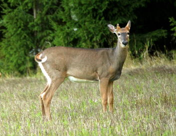 The white-tailed deer - Free image #463255