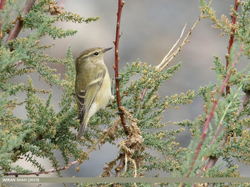 Hume's Warbler (Phylloscopus humei) - image gratuit #463605