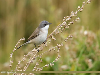 Lesser Whitethroat (Sylvia curruca) - Free image #463775