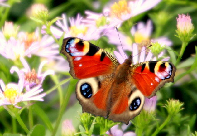 The peacock butterfly - image #463795 gratis