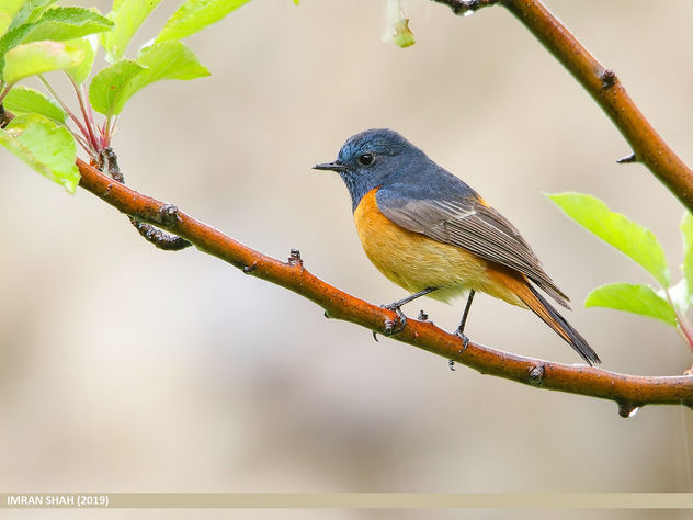 Blue-fronted Redstart (Phoenicurus frontalis) - Free image #463885