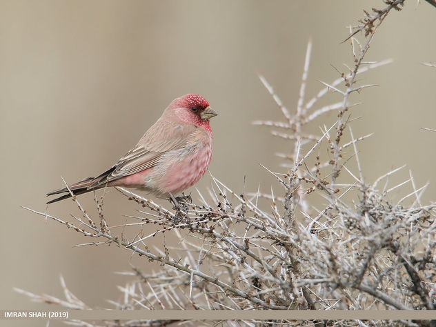 Great Rosefinch (Carpodacus rubicilla) - Free image #463895