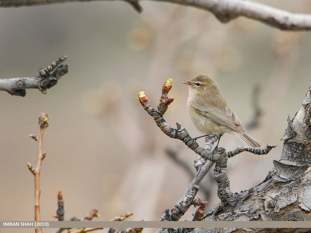 Common Chiffchaff (Phylloscopus collybita) - Free image #463905