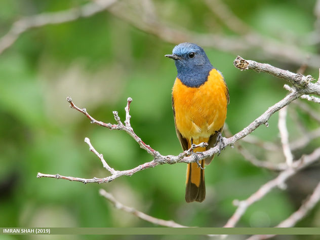 Blue-fronted Redstart (Phoenicurus frontalis) - Free image #463945