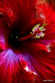Red Hibiscus by iezalel williams IMG_51091 - image #464385 gratis