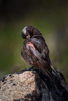 A male black-rosy finch preening himself after taking a bath in a small pool of water on a boulder at 11,000ft. - image #464395 gratis