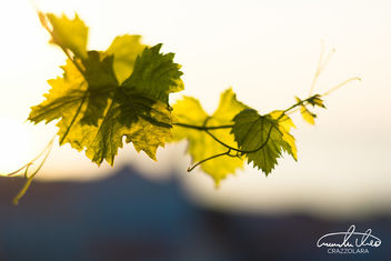 Grape leaves - Free image #464405