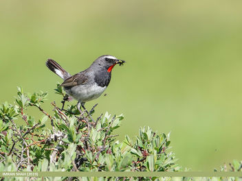White-tailed Rubythroat (Luscinia pectoralis) - image #464615 gratis