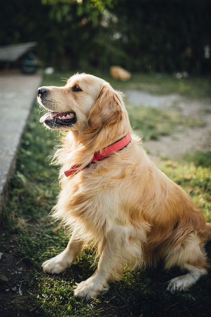 Beautiful golden retriever dog in the park. - Kostenloses image #464895