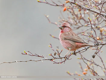 Red-Mantled Rosefinch (Carpodacus rhodochlamys) - image gratuit #465645