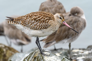 Bar-tailed Godwit (Juvenile) - бесплатный image #465735