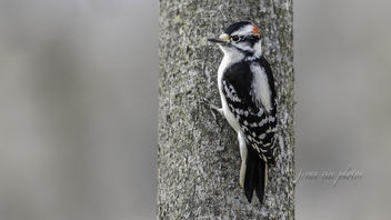Downy Woodpecker ~ Dryobates pubescens ~ Huron River and Watershed - image #466205 gratis
