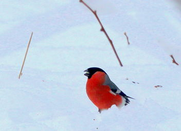 The bullfinch in snoe,,, - image #466235 gratis