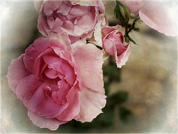 Antique Rose - image #466375 gratis