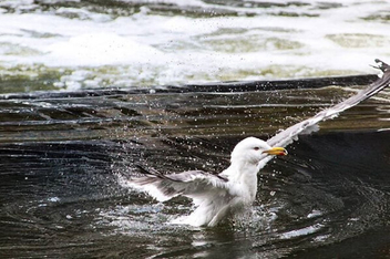 seagull taking a bath - image gratuit #466425