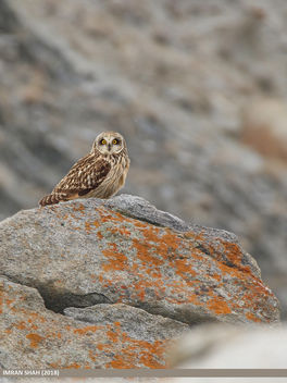 Short-eared Owl (Asio flammeus) - бесплатный image #466505