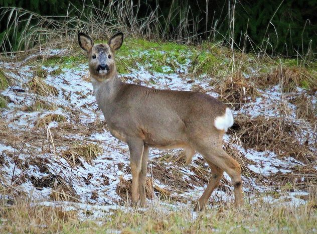 The white-tailed deer - Free image #467925