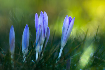 Crocus in the morning - Free image #468275