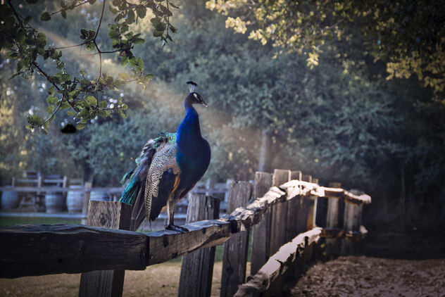 peacock on a fence - Kostenloses image #469105