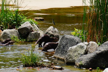otters in water - Free image #469115